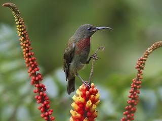 - Vigors's Sunbird