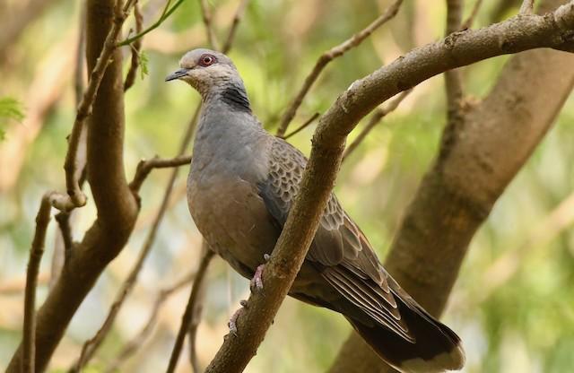 Dusky Turtle-Dove