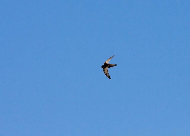 African Swift