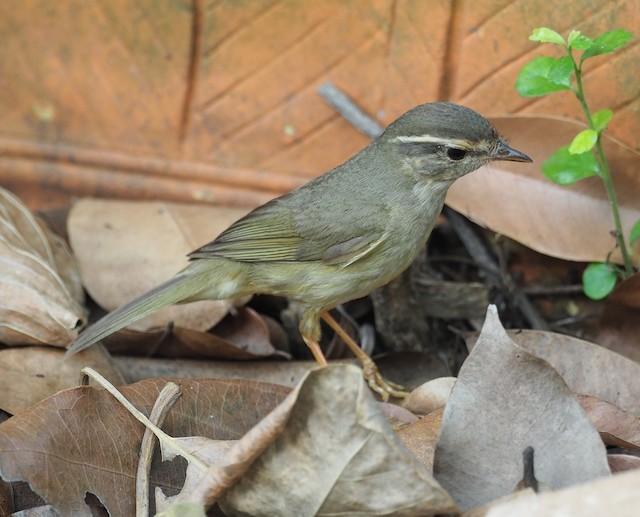 Radde's Warbler
