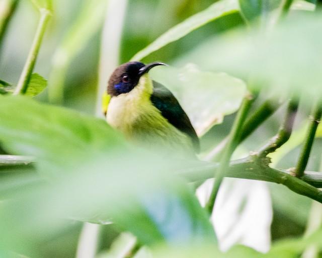 Bohol Sunbird