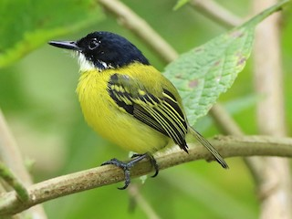 - Black-headed Tody-Flycatcher