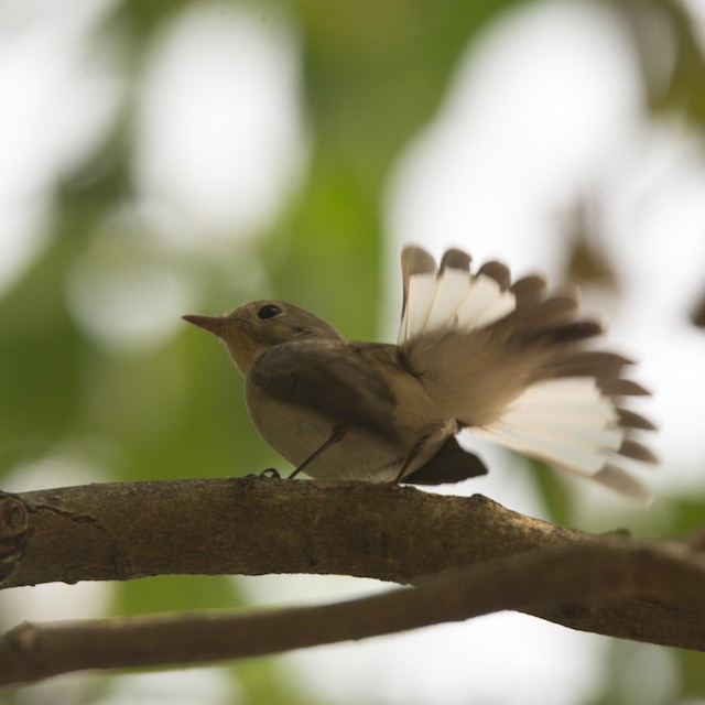 ©Pratik Kamu - Kashmir Flycatcher