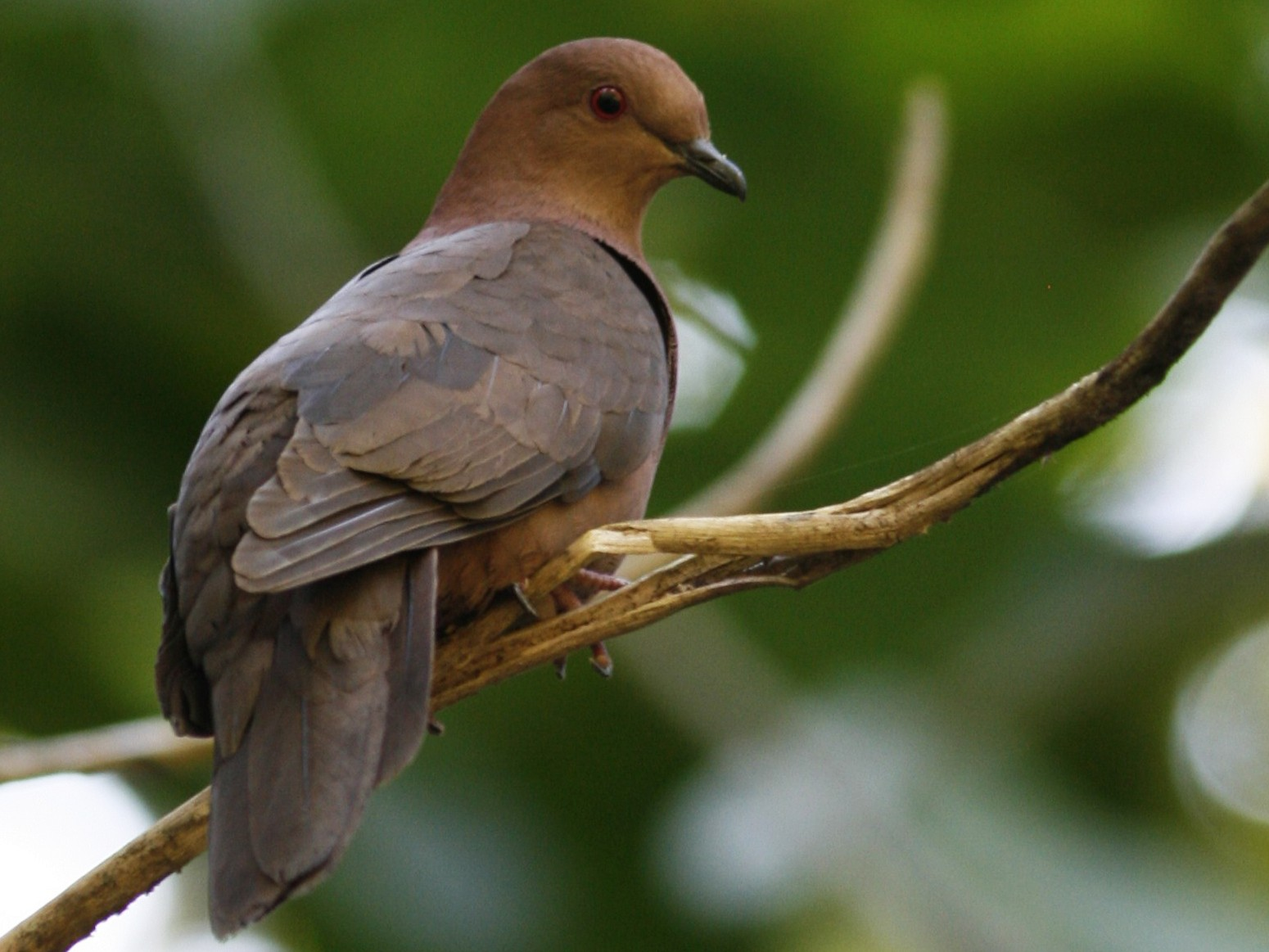 Short-billed Pigeon - Oscar Johnson