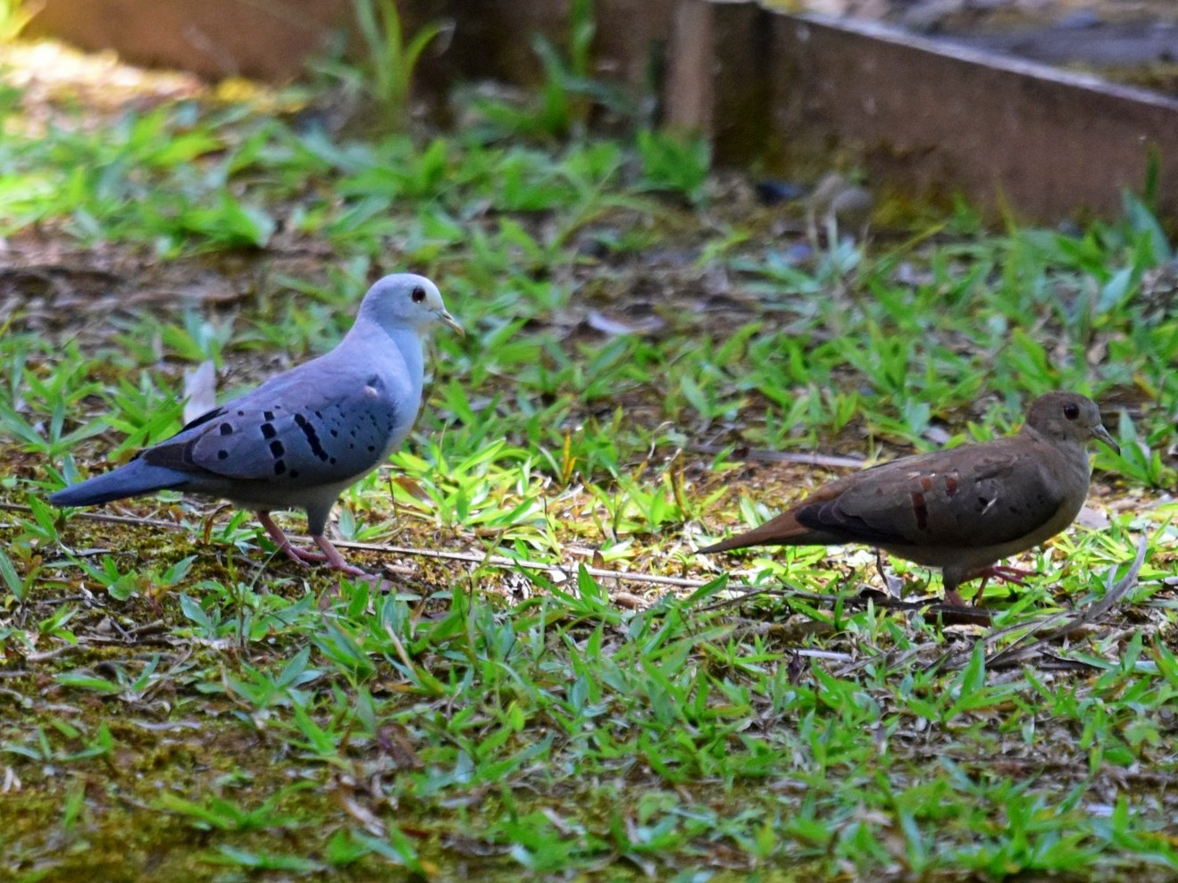 Blue Ground Dove - Joel Trick