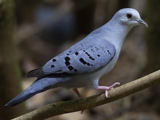 - Blue Ground Dove