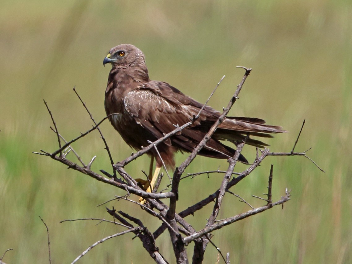 African Marsh-Harrier - Nigel Voaden