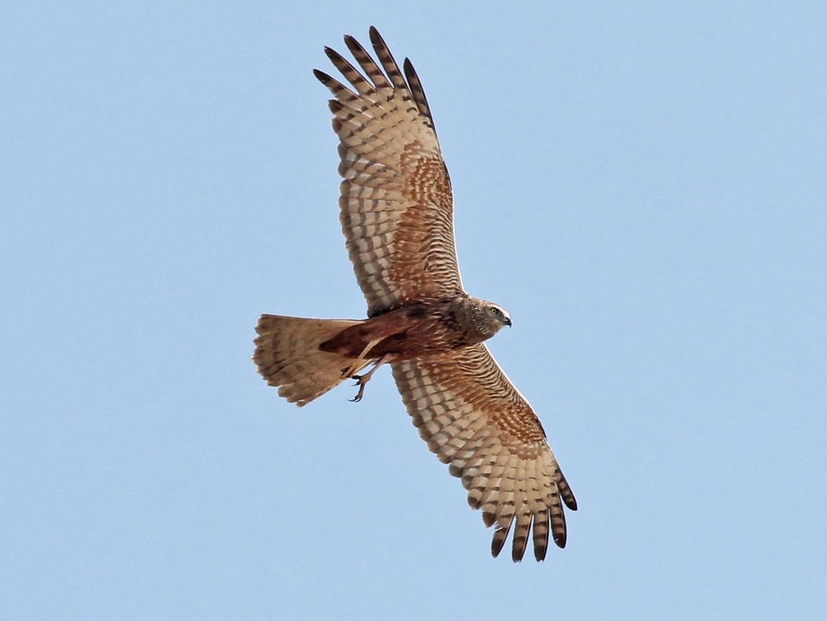 African Marsh-Harrier - Charley Hesse TROPICAL BIRDING