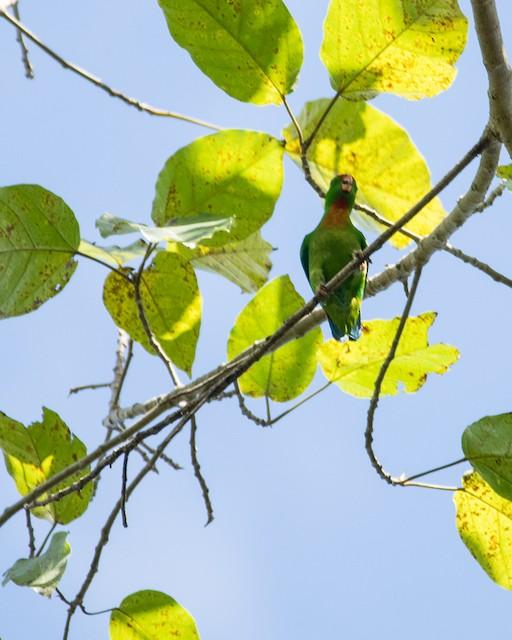 Philippine Hanging-Parrot
