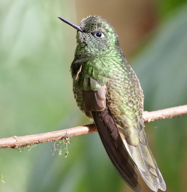 © Nick  Lund - Buff-tailed Coronet