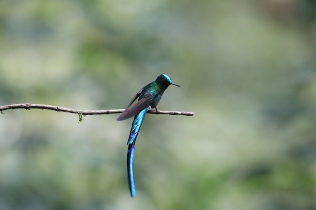 © Nick  Lund - Long-tailed Sylph