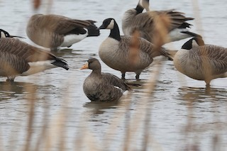 Greater White-fronted Goose, ML21489301