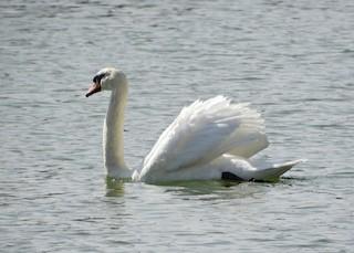 Mute Swan, ML214920511