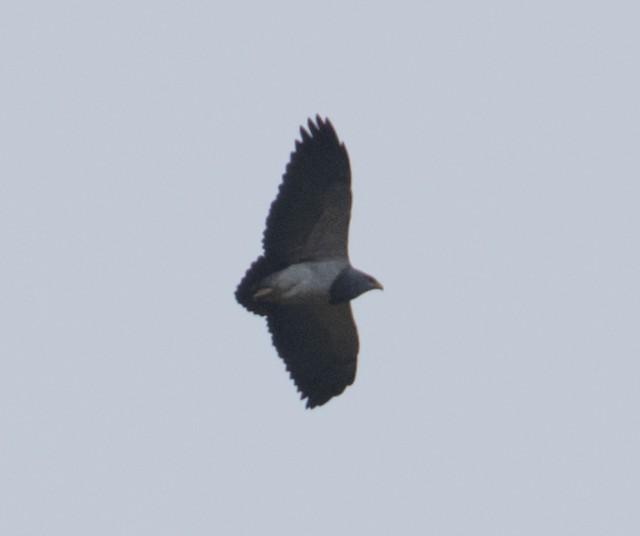 ©Joe Aliperti - Black-chested Buzzard-Eagle