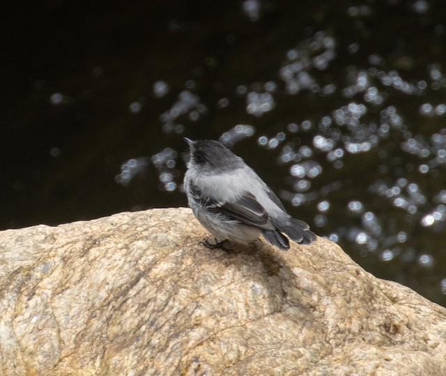 © Joe Aliperti - Torrent Tyrannulet