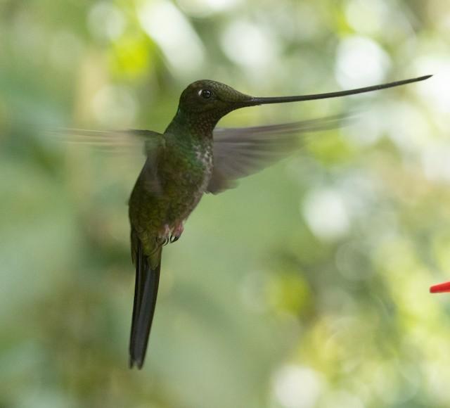 ©Joe Aliperti - Sword-billed Hummingbird