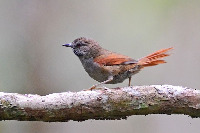 Gray-bellied Spinetail