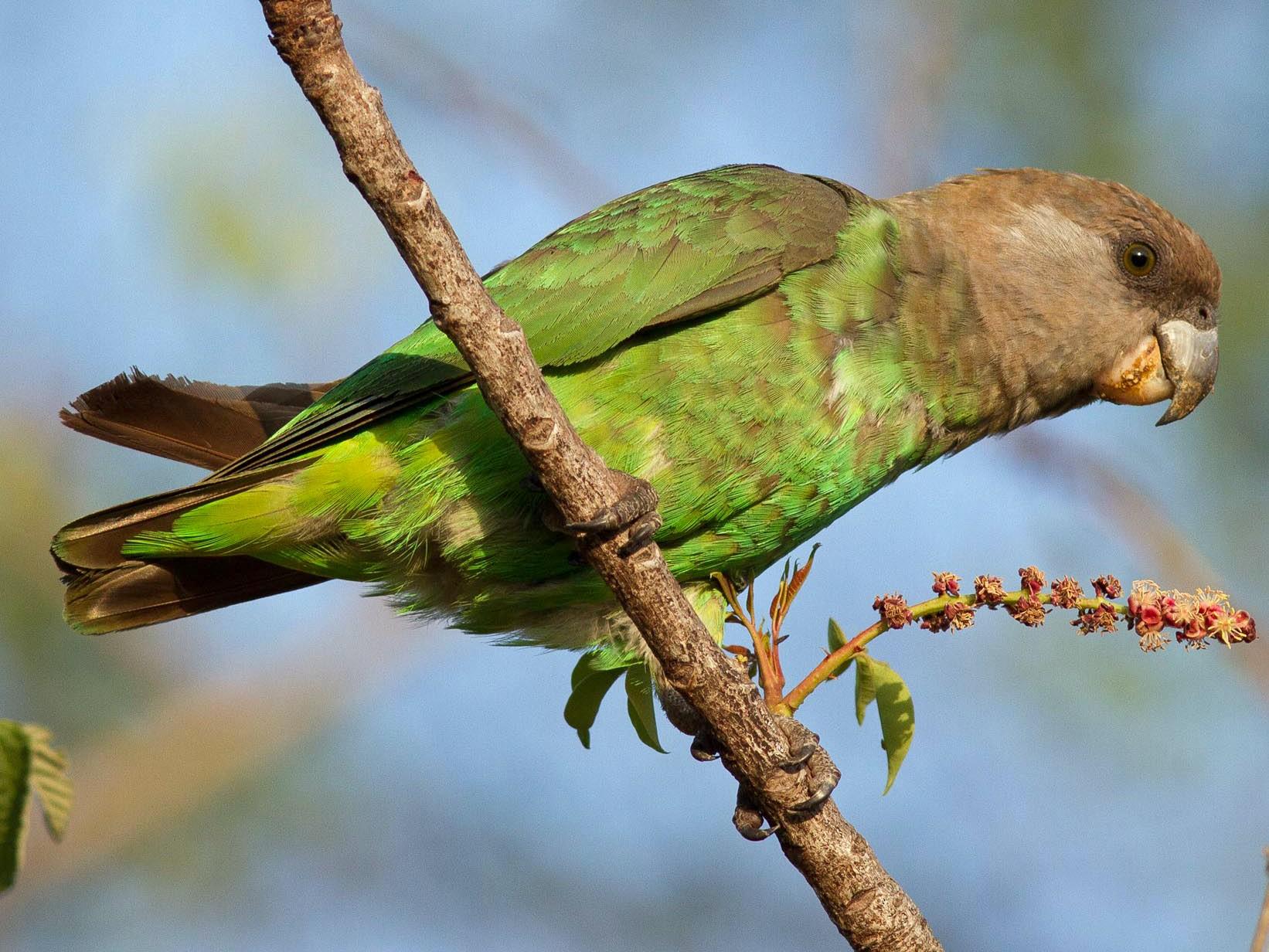 Brown-headed Parrot - Josh Engel