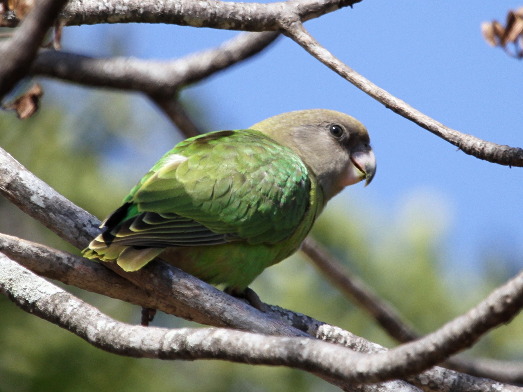 Brown-headed Parrot - Anya Auerbach