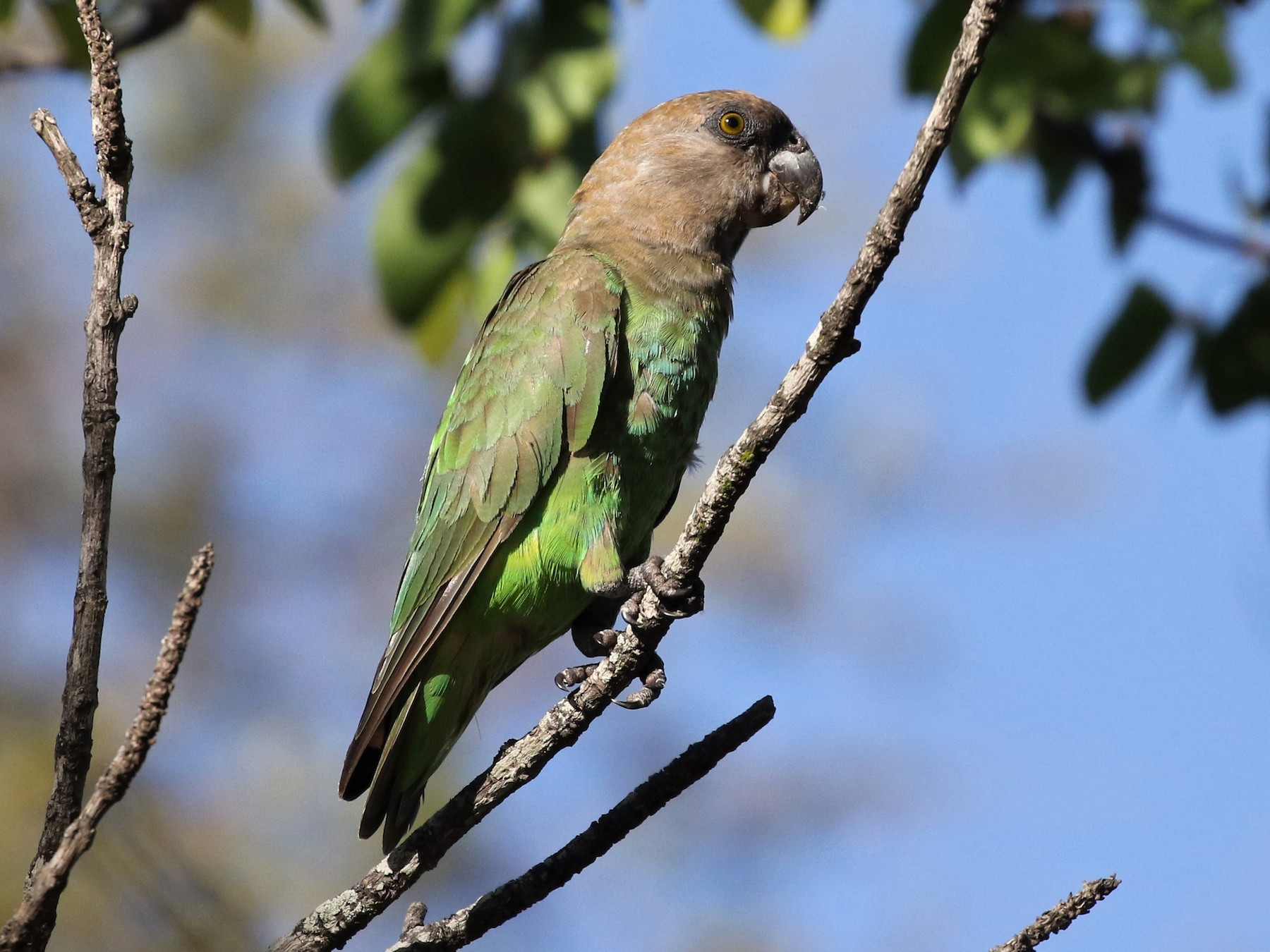 Brown-headed Parrot - Dean LaTray