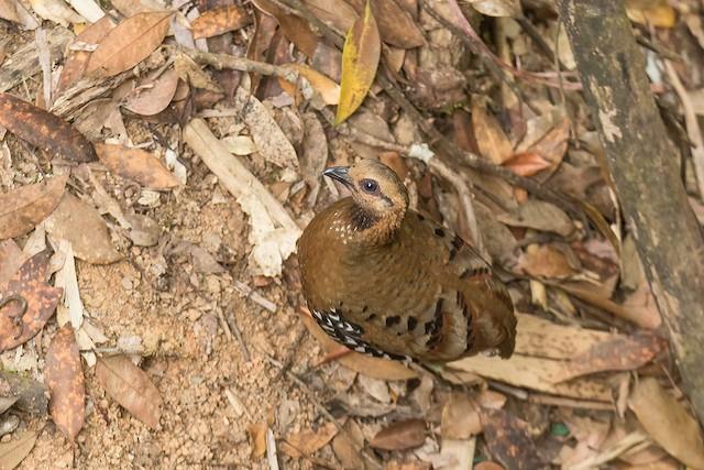 Chestnut-headed Partridge (Siamese)