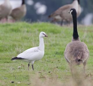 Ross's Goose, ML21544281