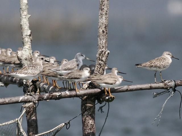 Nordmann's Greenshank roosting with a Gray Plover, Great Knot, and a group of Terek Sandpipers on an man-made structure.