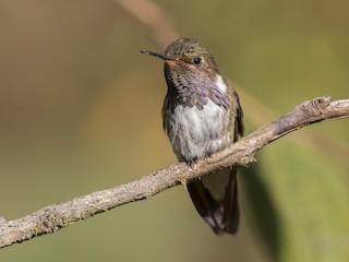 - Volcano Hummingbird