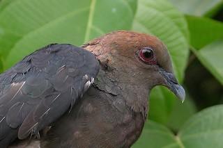 Bronze-naped Pigeon, ML215816231