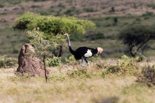 Somali Ostrich, ML215914761
