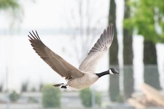 Canada Goose, ML215986321