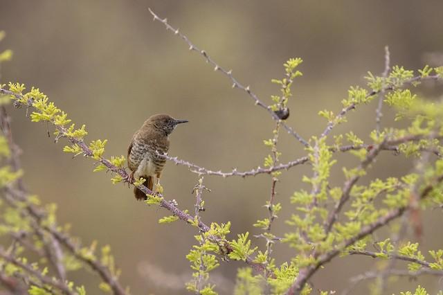 Barred Wren-Warbler
