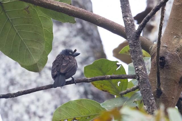 Gray-throated Barbet (Gray-headed)