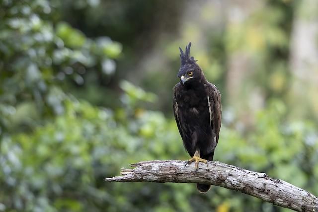 Long-crested Eagle