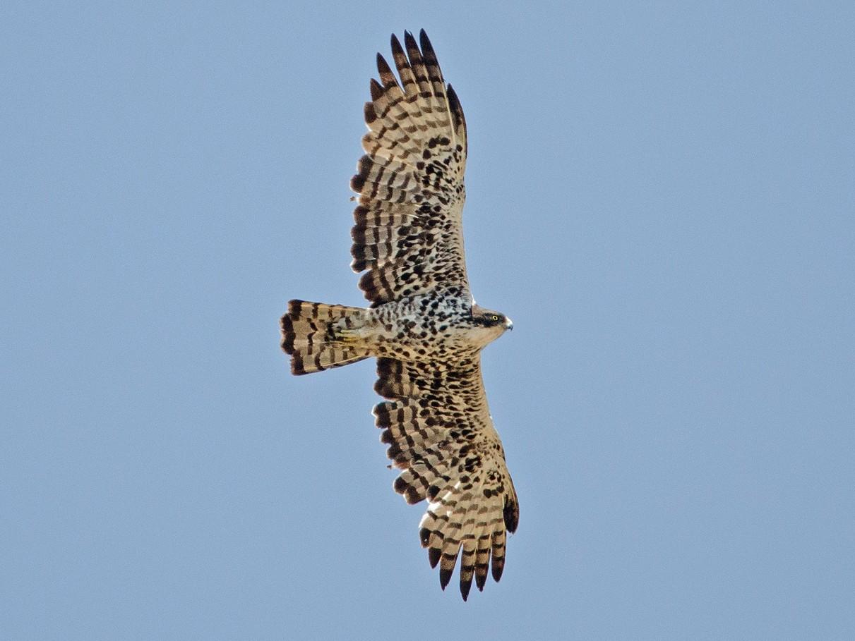 Ayres's Hawk-Eagle - Dylan Vasapolli - Birding Ecotours