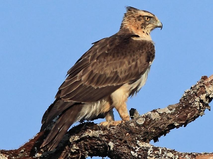 Ayres's Hawk-Eagle - Nigel Voaden