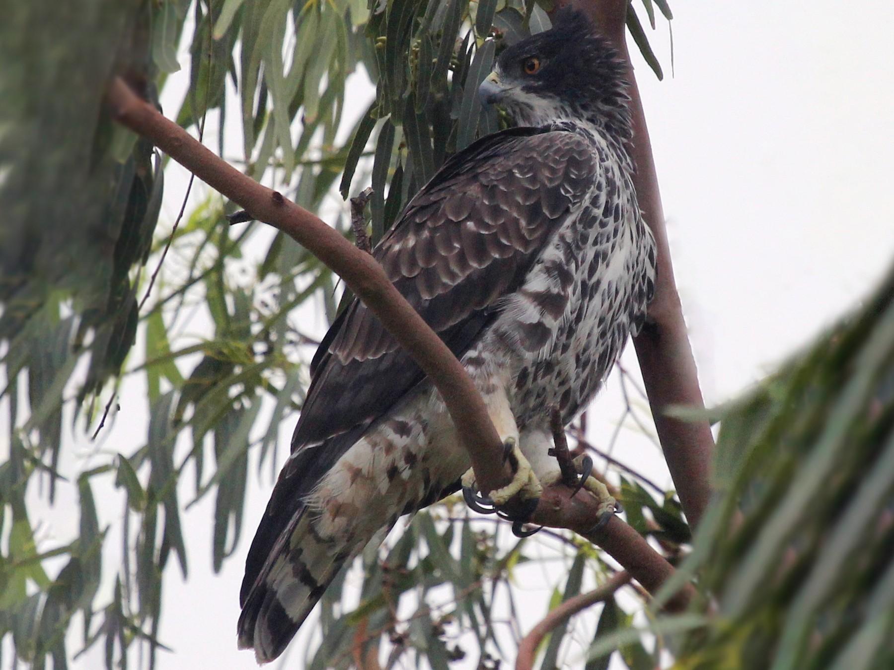 Ayres's Hawk-Eagle - Bassel Abi Jummaa