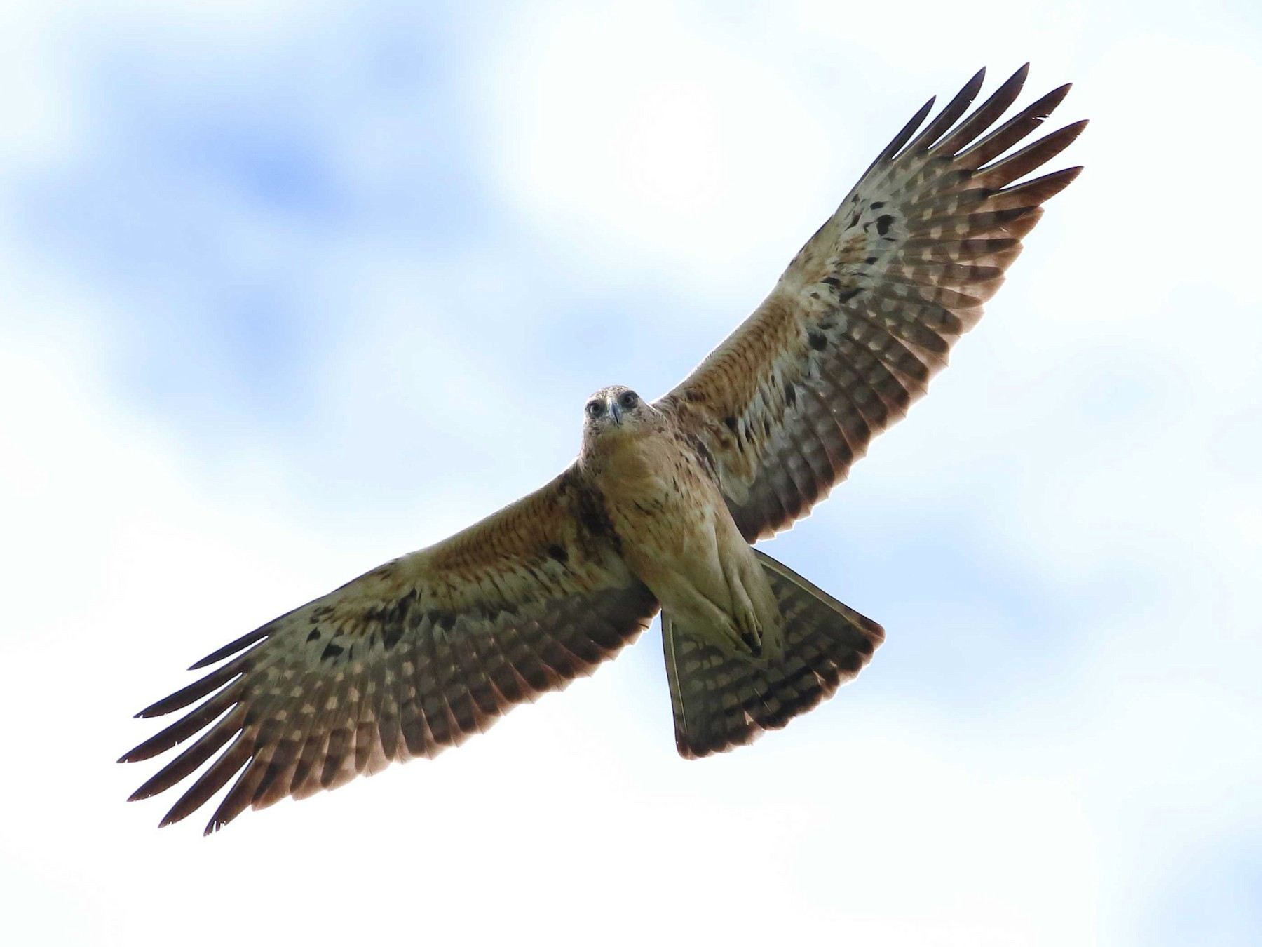 Ayres's Hawk-Eagle - Nick Lethaby
