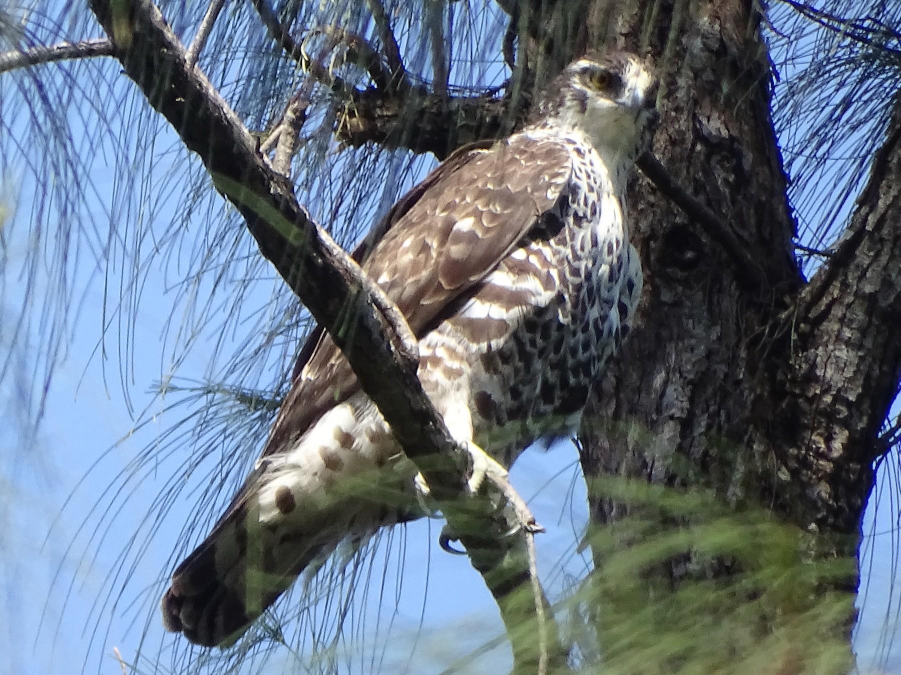 Ayres's Hawk-Eagle - Doris  Schaule