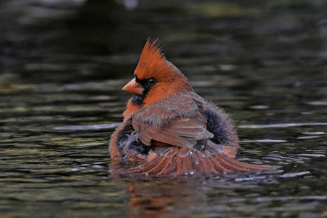 Male Northern Cardinal bathing.