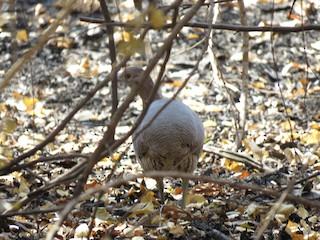 Undulated Tinamou, ML216155751