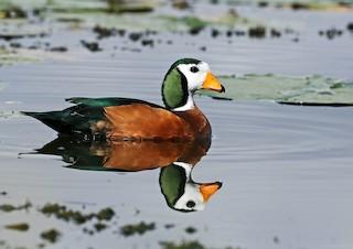 - African Pygmy-Goose