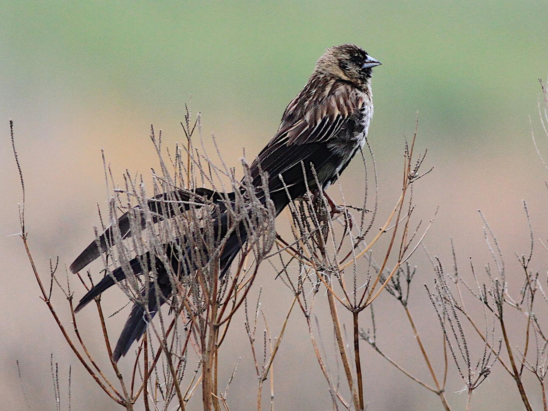Long-tailed Widowbird - Michael McCloy