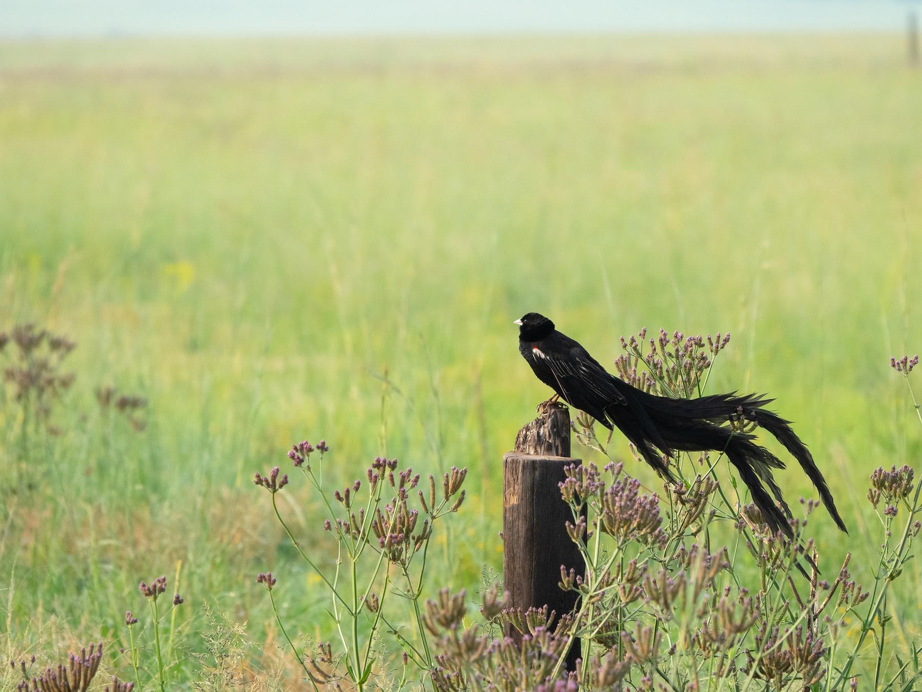 Long-tailed Widowbird - Simon Gorta