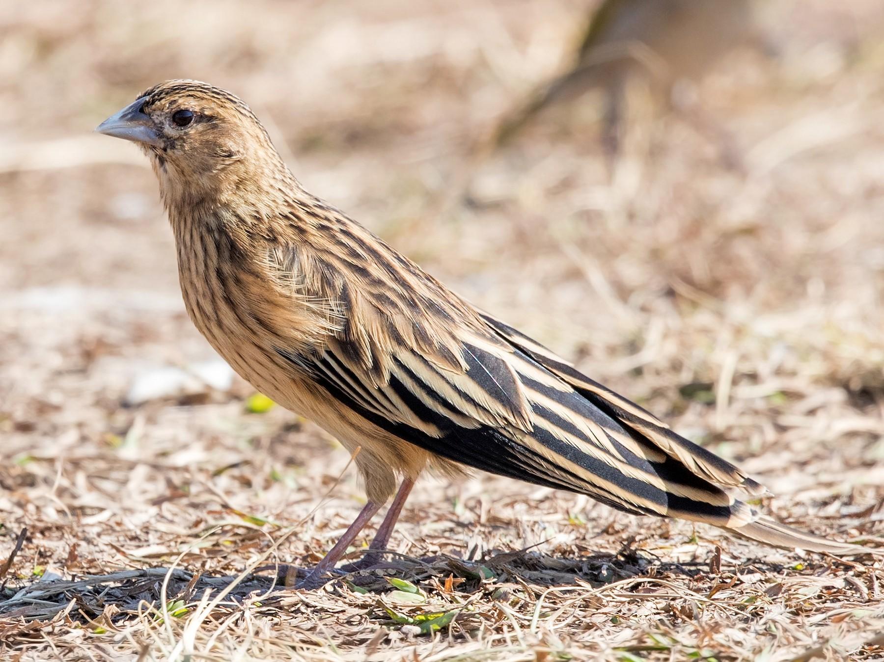 Long-tailed Widowbird - David Irving