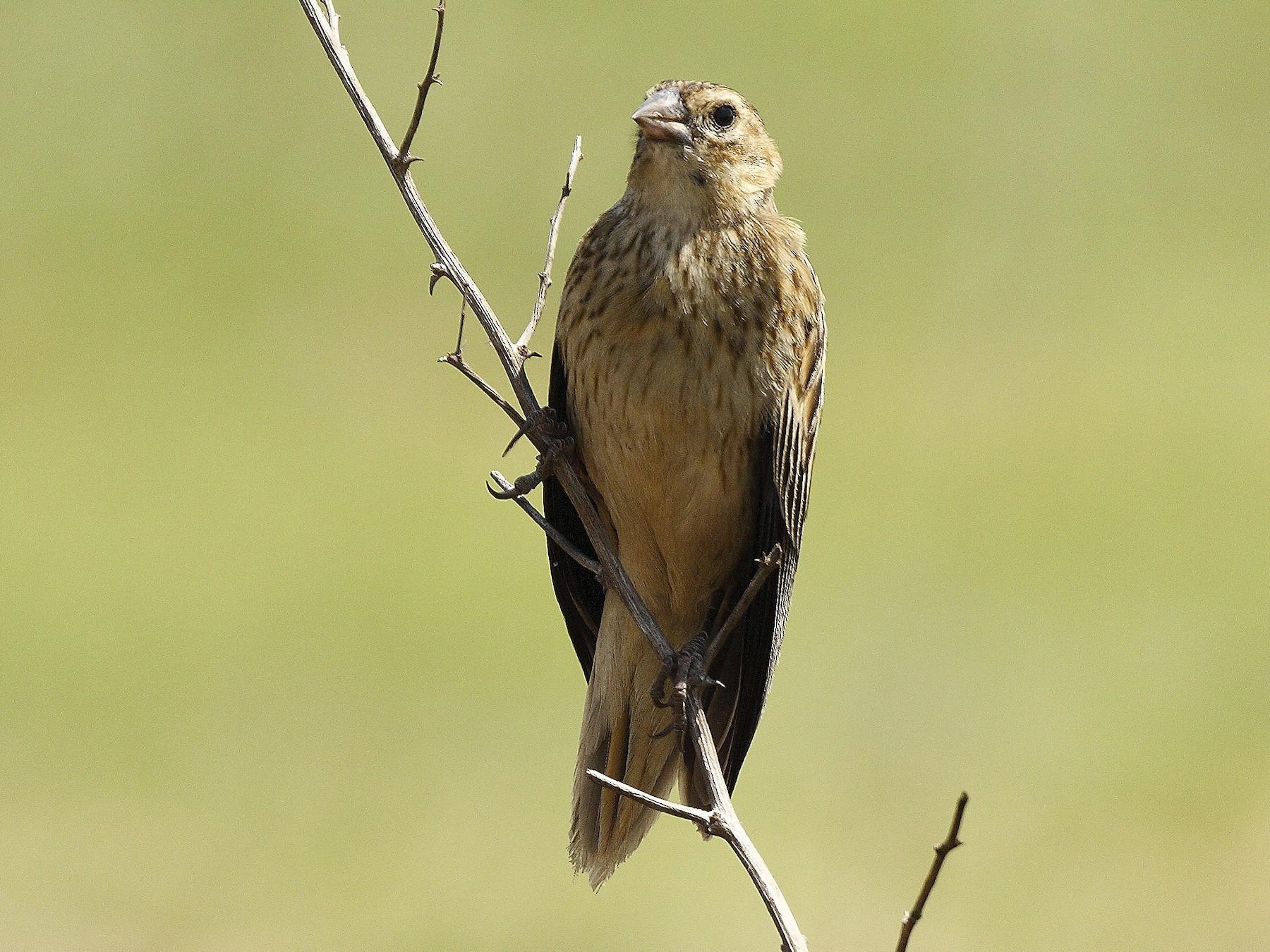 Long-tailed Widowbird - Loutjie Steenberg