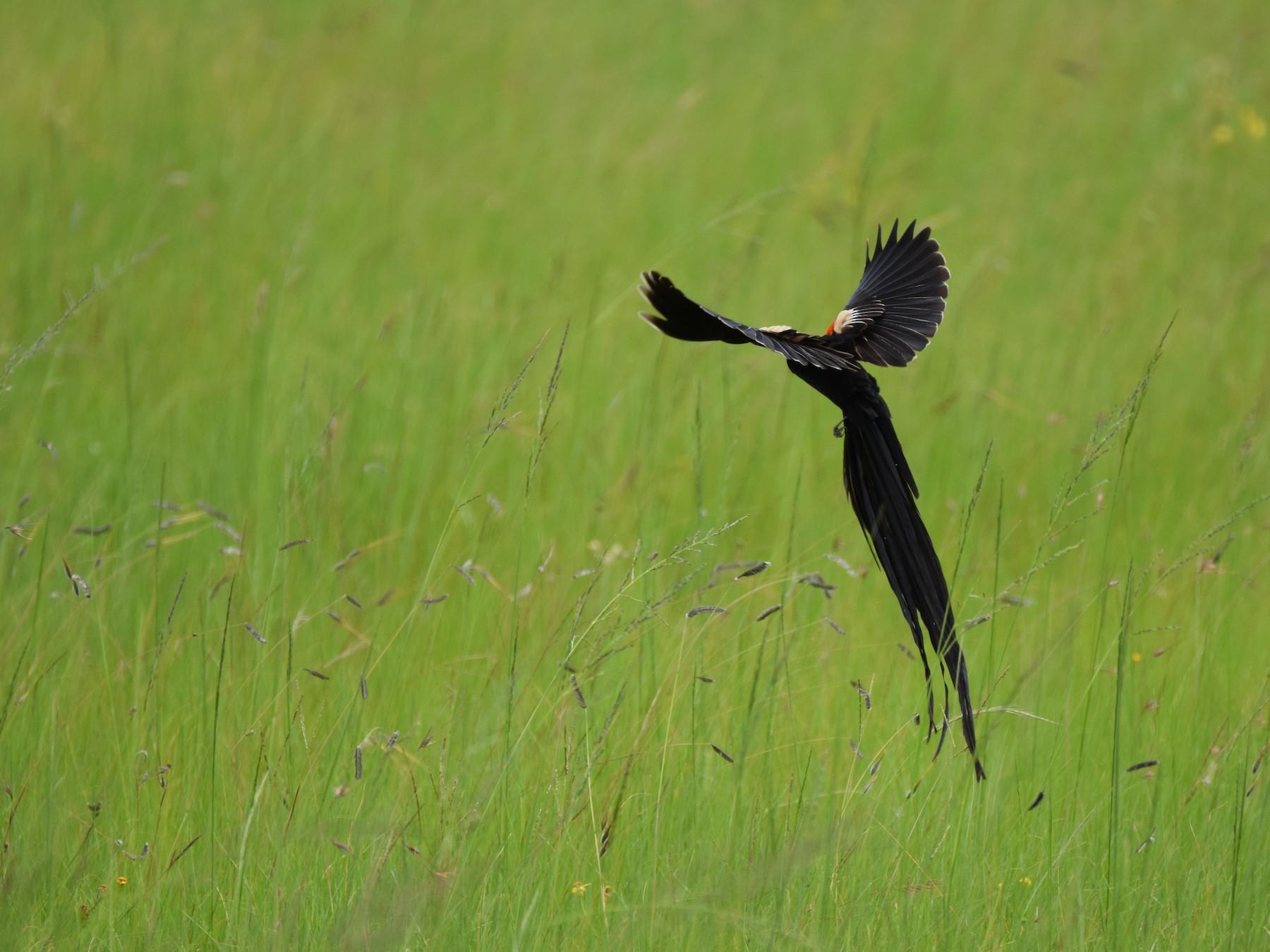 Long-tailed Widowbird - Ryne Rutherford