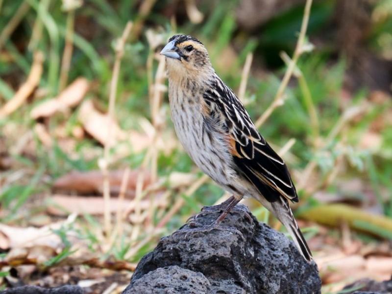Fan-tailed Widowbird - Hickson Fergusson