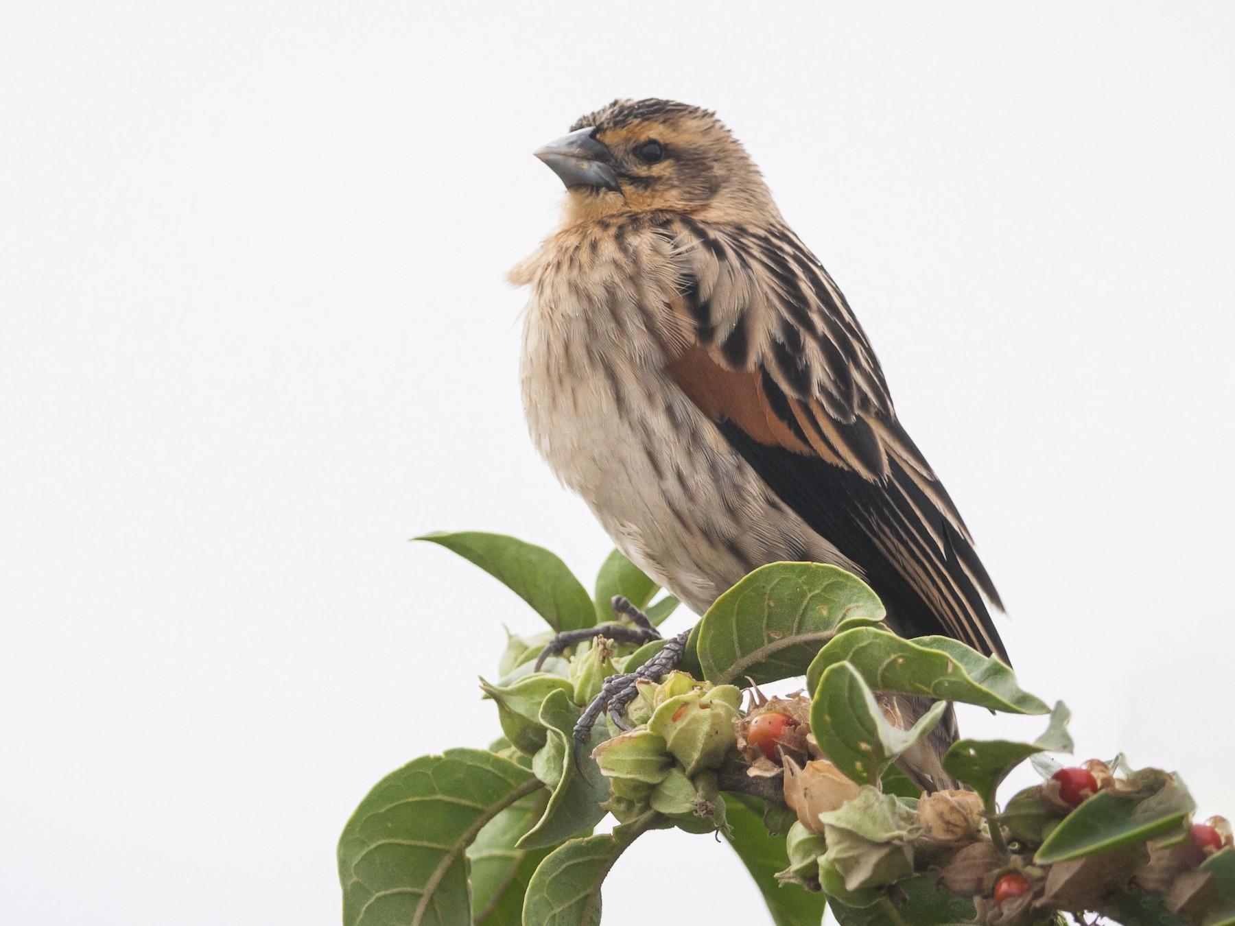 Fan-tailed Widowbird - Claudia Brasileiro