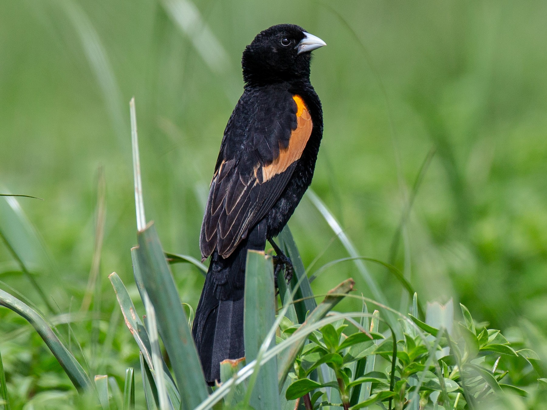 Fan-tailed Widowbird - Chris Wood
